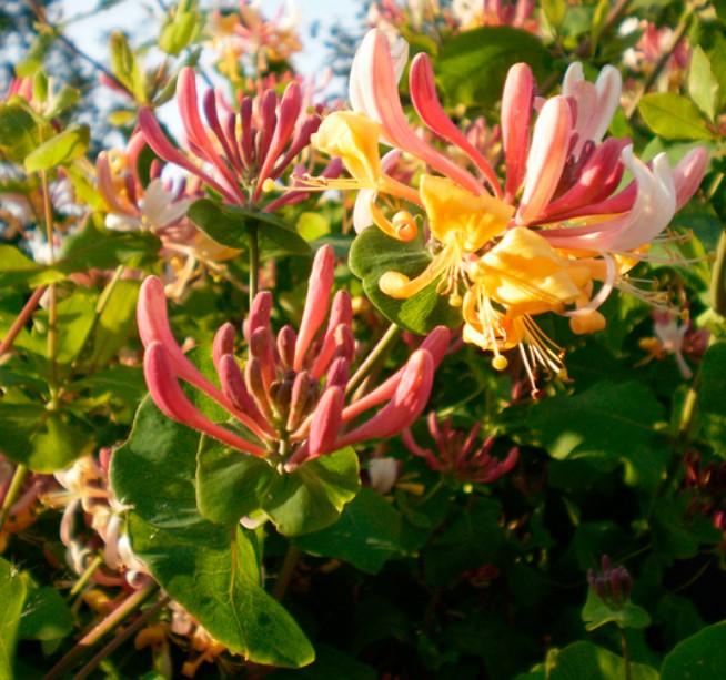 bahçe için bal çiçeği