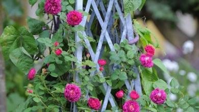 bahçe için sarmaşık gül