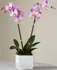 Evde Orkide